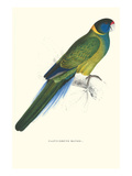 Bauer's Parakeet - Bauer Barnardius Donzarius Posters by Edward Lear