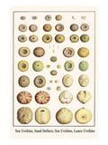 Sea Urchins, Sand Dollars, Sea Urchins, Lance Urchins Posters af Albertus Seba