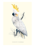 Lesser Sulpher-Crested Cockatoo - Cocatua Sulphurea Poster von Edward Lear