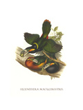 Spot Billed Toucanet Print by John Gould