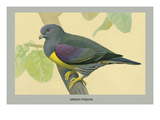 Green Pigeon Art by Louis Agassiz Fuertes