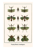 Praying Mantis, Grasshoppers, Prints by Albertus Seba