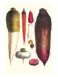 Tubers Print by Philippe-Victoire Leveque de Vilmorin