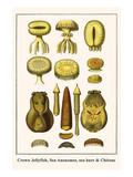 Crown Jellyfish, Sea Anenomes, Sea Hare and Chitons Posters by Albertus Seba