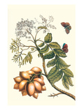 Butterfly on a Spanish Plum Posters by Maria Sibylla Merian