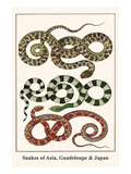 Snakes of Asia, Guadeloupe and Japan Art by Albertus Seba