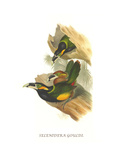 Gould's Toucanet Poster by John Gould
