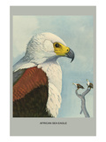 African Sea Eagle Art by Louis Agassiz Fuertes
