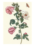 Roselle with Fall Webworm Prints by Maria Sibylla Merian