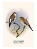 Indian Silver Bill and African Silver Bill Prints by F.w. Frohawk