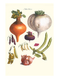 Vegetables; Peas, Onion, Turnip, Raddish, Green Beans Posters by Philippe-Victoire Leveque de Vilmorin