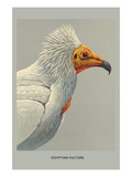 Egyptian Vulture Prints by Louis Agassiz Fuertes