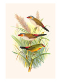 Orange Cheeked Waxbill and Zebra Waxbill Prints by F.w. Frohawk