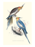 New Holland Parakeets -Nynphicus Hollandicus Kunstdruck von Edward Lear