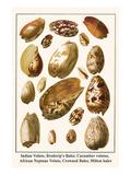 Indian Volute, Broderip's Baler, Cucumber Volutes, African Neptune Volute, Crowned Baler, etc. Prints by Albertus Seba