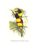 Wied's Aracari - Black Necked Prints by John Gould