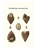 Fossilised Nuts, Acorn and Seeds Posters by James Parkinson