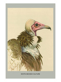 White Necked Vulture Posters by Louis Agassiz Fuertes