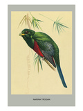 Narina Trogon Prints by Louis Agassiz Fuertes