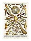 Arabian Tibia, Shin-Bone Tibia, Auger Shells, Marlinspike, Duplicate Turritella, etc. Posters by Albertus Seba