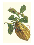 Citron with Monkey Slug and a Harlequin Beetle Prints by Maria Sibylla Merian