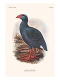 Apterornis Coerulescens Art by Lionel Walter Rothschild