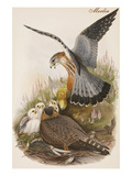 Merlin Prints by John Gould