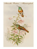 Amazilla Pristina - Hummingbirds Prints by John Gould