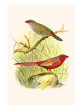 Sydney Waxbill and Australian Fire Finch Print by F.w. Frohawk