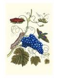Grapevine with Gaudy Spinx Moth Poster von Maria Sibylla Merian
