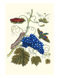 Grapevine with Gaudy Spinx Moth Prints by Maria Sibylla Merian