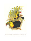 Rainbow or Keel Billed Toucan Prints by John Gould