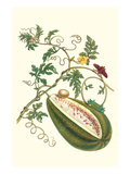 Watermelon and Slug Moth Posters by Maria Sibylla Merian