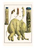 Asiatic Elephant, Human Fetus, Sheep Embryo, Pig Embryo, Mice Prints by Albertus Seba