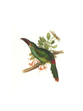 Crimson Rumped Toucanet Prints by John Gould