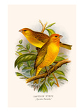 Safron Finch or Brazilian Bunting or Brazilian Canary Prints by F.w. Frohawk
