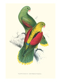 Crimson Winged Parakeet - Aprosmictus Erythropterus Art by Edward Lear