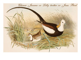 Chinese Jacana or Lilly Trotter or Jesus Bird Print by John Gould