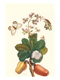 Moth on Cashew Apple Print by Maria Sibylla Merian
