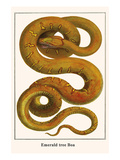 Emerald Tree Boa Posters by Albertus Seba