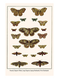 Peacock, Emperor Moths, Large Emperor, Spurge Hawkmoth, Privet Hawkmoth Photo by Albertus Seba
