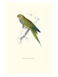 Dwarf Parakeet Macaw - Aratinga Nana Prints by Edward Lear