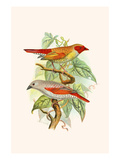 "Red Faced Finch or ""Wiener's Astrild"" and Crimson Winged Finch Print by F.w. Frohawk"