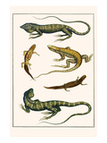 Iguanas, Anoles, Sauria, Amphibia Posters by Albertus Seba
