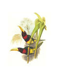Brown Mandibled Aracari Photo by John Gould