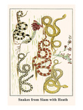 Snakes from Siam with Heath Láminas por Albertus Seba
