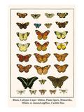 Blues, Calypso Caper Whites, Plain Tigers, Monarchs, Mimic or Danaid Eggflies, Caddis Flies Foto von Albertus Seba