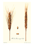 Wheat Poster by Philippe-Victoire Leveque de Vilmorin