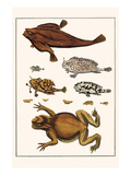 Toad, Longsnout Batfish, Sargassumfishes, Marine Snails, Print by Albertus Seba