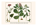 Milk Weed, Stork's Bill, Hamphire-Purselane, Spider Orchids Posters by Albertus Seba